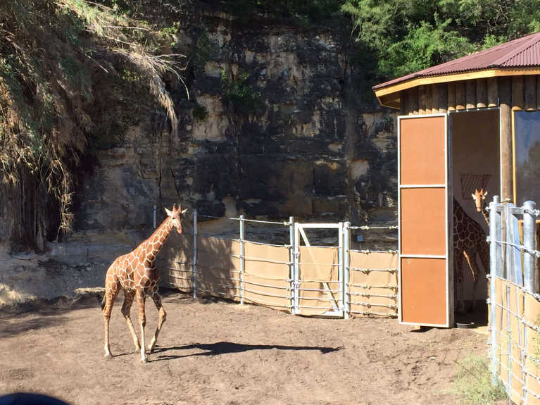 Giraffes are Back at the San Antonio Zoo